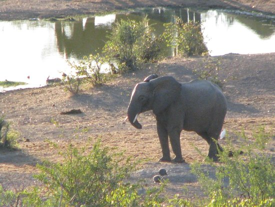 Victoria Falls Safari Lodge: Elephant with a short trunk