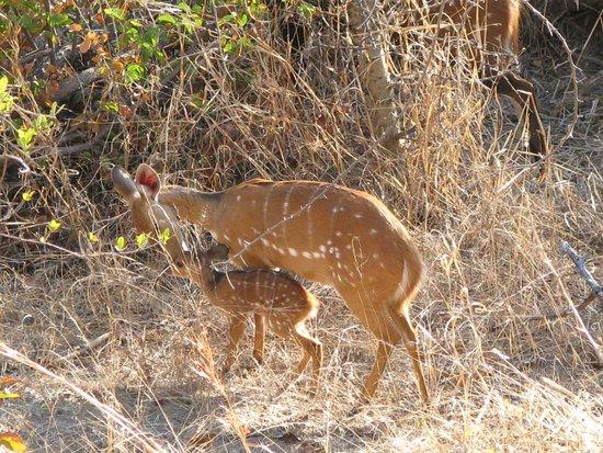 Victoria Falls Safari Lodge: Bush buck born outside our rooms.
