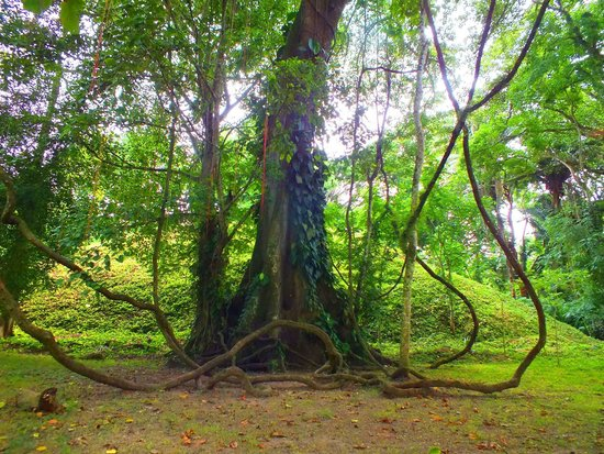 Archaeological Park and Ruins of Quirigua : Cool Tree