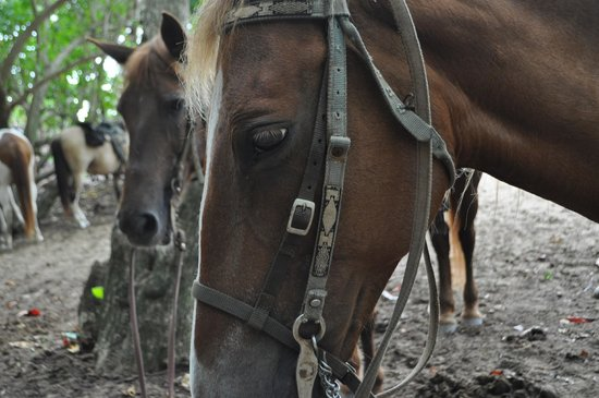 Tropical Trail Rides - Isabela: friendly horses