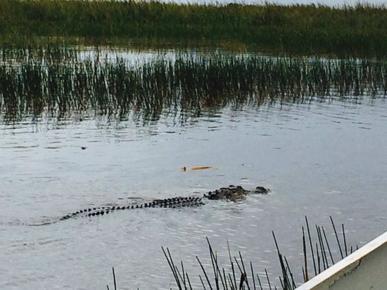 Sawgrass Recreation Park: Alligator during the airboat ride