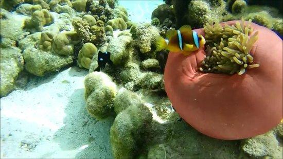 Nemo And A Sea Anemone Picture Of Jardin De Corail Tahaa