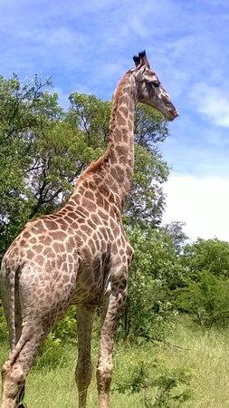 Kapama River Lodge: Giraffe