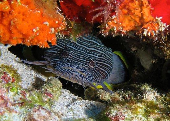 Cozumel Palace : Splendid Toad Fish - Diving with Aqua Safari