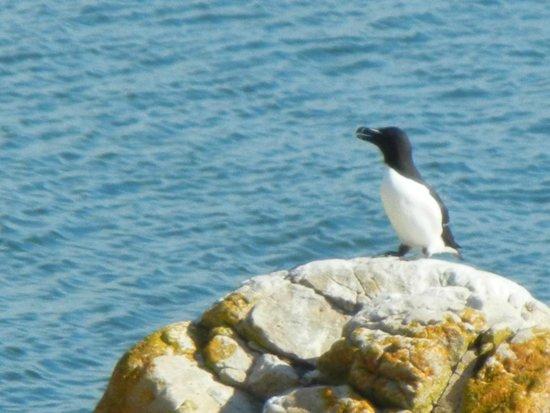 Phare du Pot a l'Eau-de-Vie: Petit pinguin