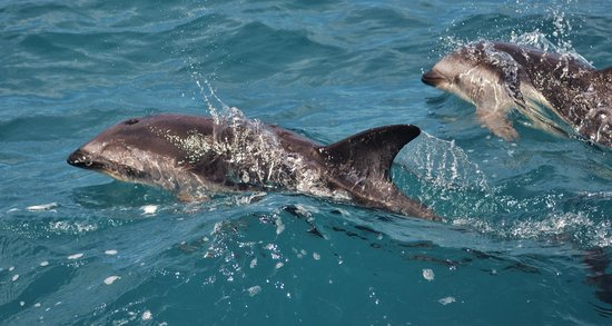 Whale Watch: Dusky Dolphins