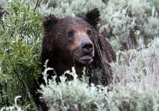 Jackson Hole Eco Tour Adventures : Grizzlies in Grand Tetons