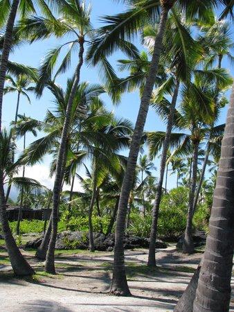 Pu'uhonua O Honaunau National Historical Park : Palm Tree Paradise