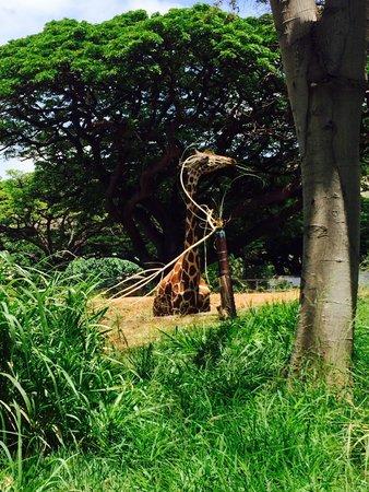 Sweet Giraffe at the Honolulu Zoo!