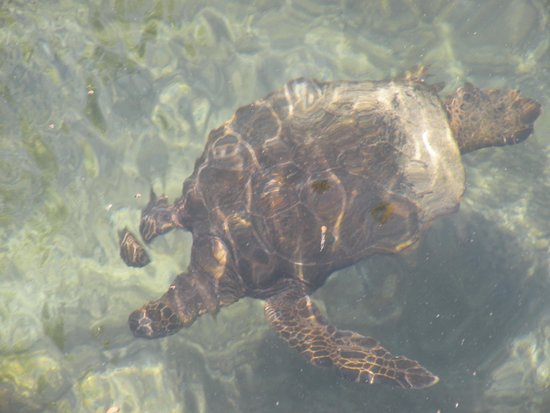 Hilton Waikoloa Village: turtle that swam into hotel lagoon from ocean