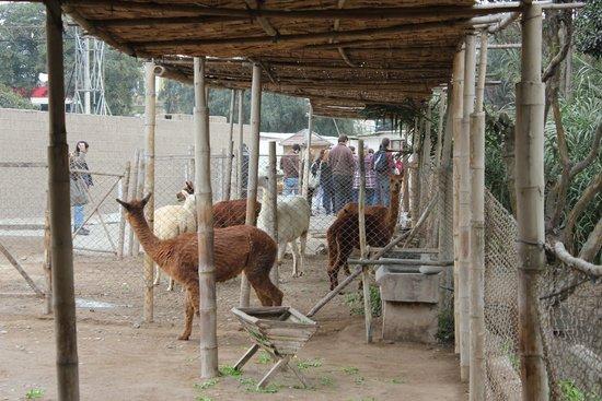 Huaca Pucllana : Some Alpakas and Llamas in a small zoo area