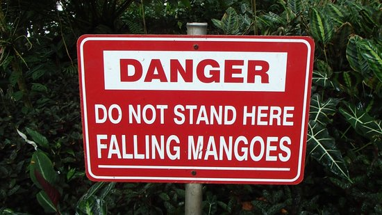 Hawaii Tropical Botanical Garden : Watch Out for Falling Mangoes!