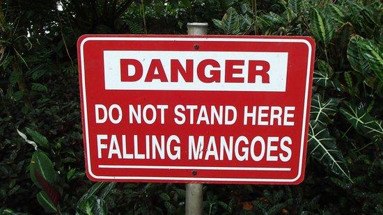 Hawaii Tropical Botanical Garden: Watch Out for Falling Mangoes!