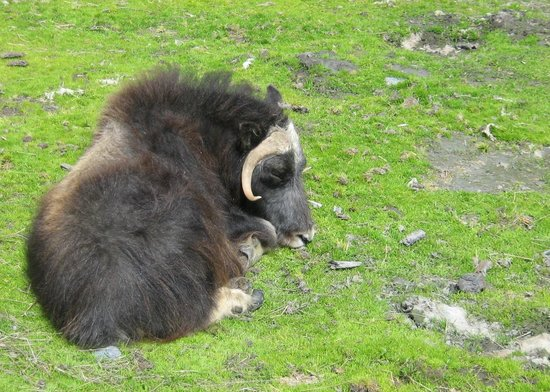Alaska Wildlife Conservation Center: Musk Ox
