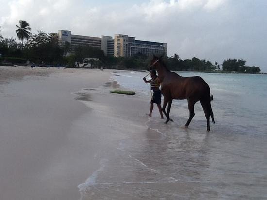 Hilton Barbados Resort: morning swim with the Hilton in the background