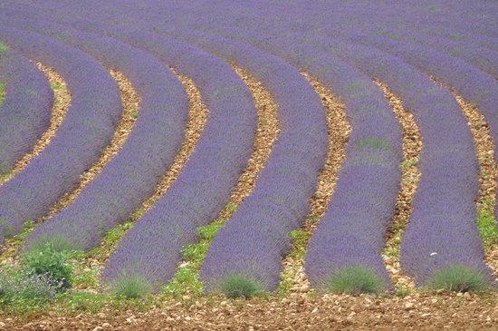 La Colombiere du Chateau : It was lavender season when we visited - spectacular.