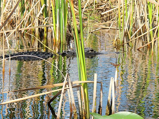 Everglades Holiday Park : gator in the glades
