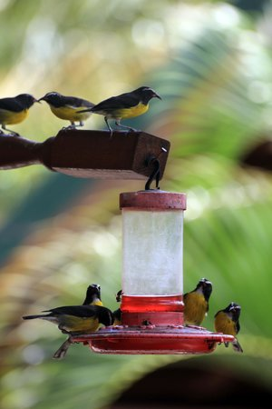 Ladera Resort: Bananaquits on feeder