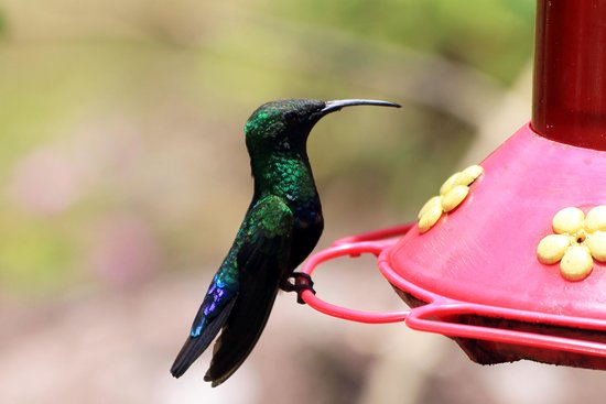 Ladera Resort: Hummingbird on feeder