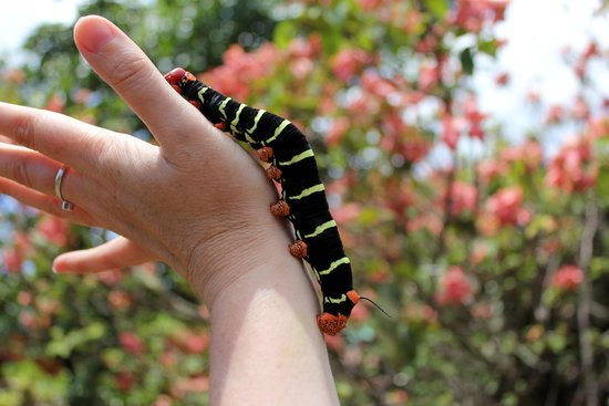 Ladera Resort: Frangipani Hawkmoth caterpillar