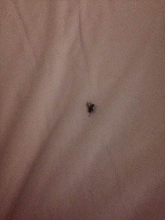 Lakeville, Pensilvanya: In bed black bug