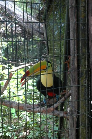 The Belize Zoo : A Toucan
