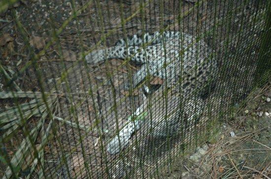 The Belize Zoo : Ocelot