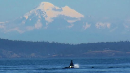 Spirit of Orca Whale and Wildlife Tours: Orca under Mount Baker