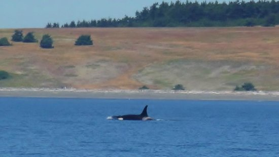 Spirit of Orca Whale and Wildlife Tours: Orca near the San Juan shoreline