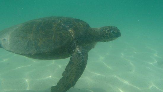 Hilton Waikoloa Village: Green Sea Turtle