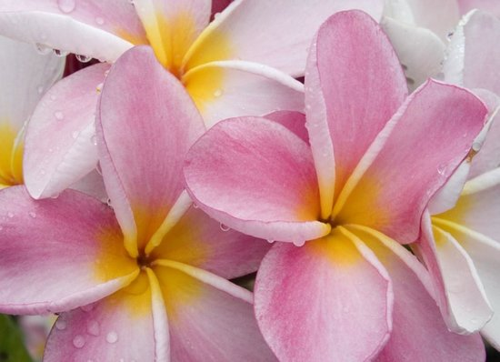 Kosrae Village Ecolodge & Dive Resort: Plumeria Flowers