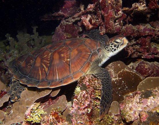 Kosrae Village Ecolodge & Dive Resort: Sleepy Green Sea Turtle
