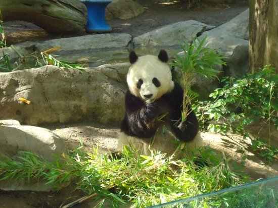 San Diego Zoo : Panda