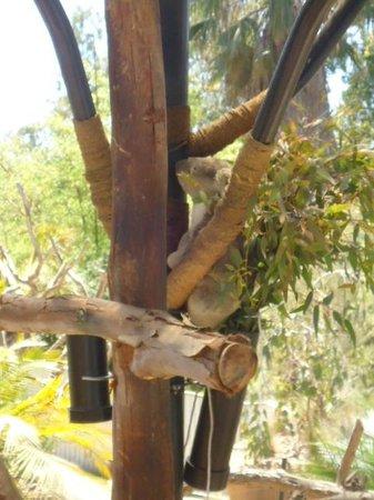 San Diego Zoo: Koala
