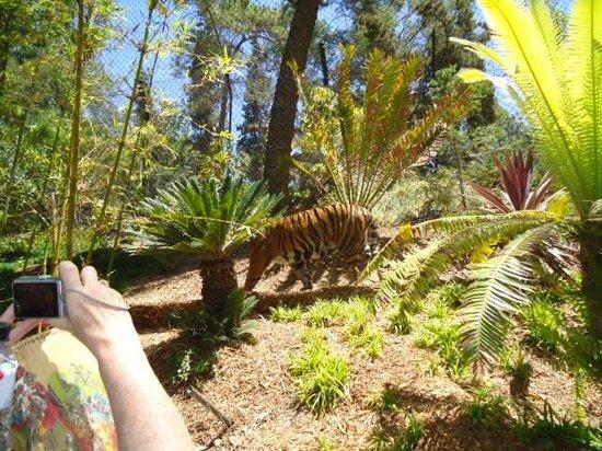 San Diego Zoo: Tiger