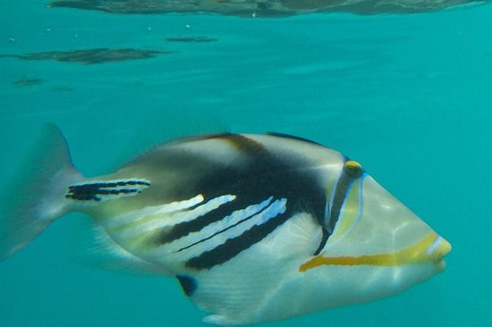 Kurumba Maldives: yet, a furious fish