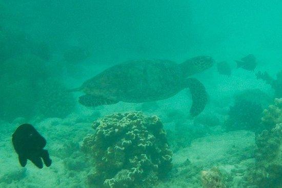 Kurumba Maldives: sea turtle