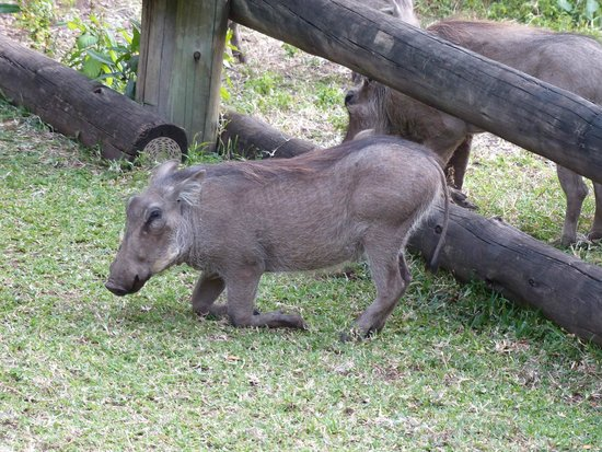 Chobe Marina Lodge : Hotel pet warthogs