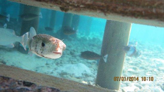 Lily Beach Resort & Spa : Рыба-Еж живет под водной виллой.