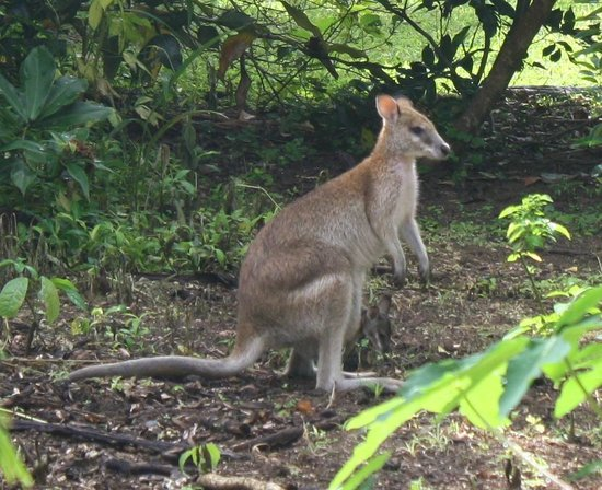 Boutique Bungalows: One of our many local wallabies in the garden!