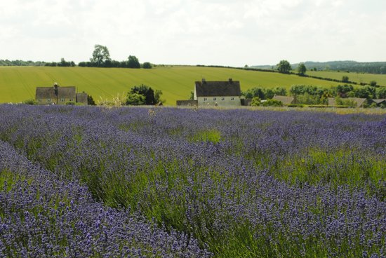 Cotswold Lavender : the top of the field