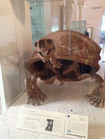 American Museum of Natural History: Scheletro di tartaruga gigante