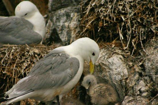 Serenity Farne Island Boat Tours: Kittikake and chick on Staple Island