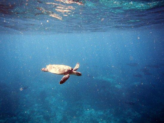 Soneva Fushi Resort: Turtle