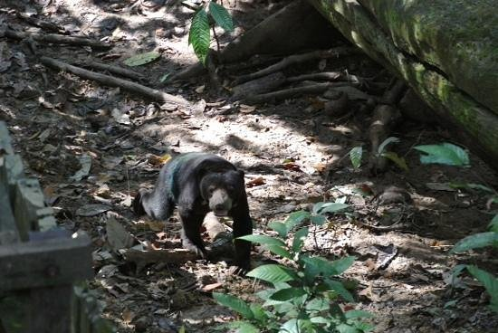 Bornean Sun Bear Conservation Centre: a sunbear on the move