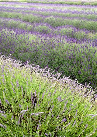 Cotswold Lavender : Lavender to chill out to.