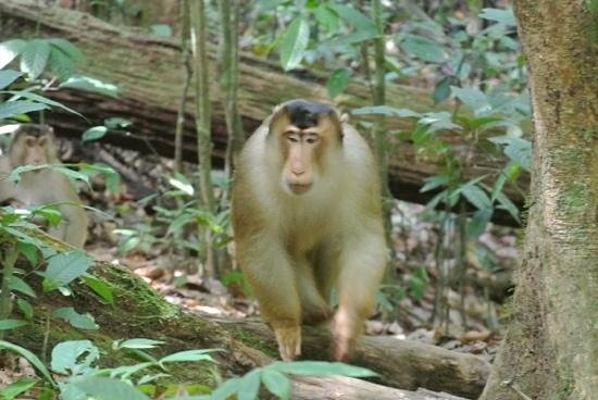 "Orang Utan Sanctuary : ""very dangerous monkey"""