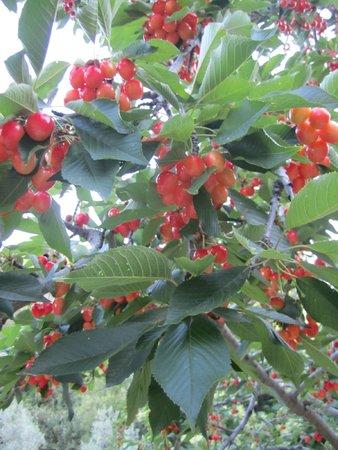 Casa Rural Las Chimeneas: Cherry trees bursting with fruit