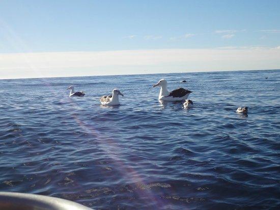 Albatross Encounter: Munchkins beside Goliath!