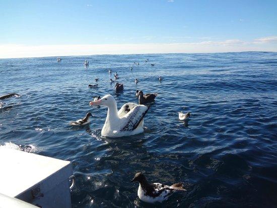 Albatross Encounter: Gulliver's travels !